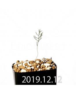 エリオスペルマム アフィルム EQ125 実生 20171