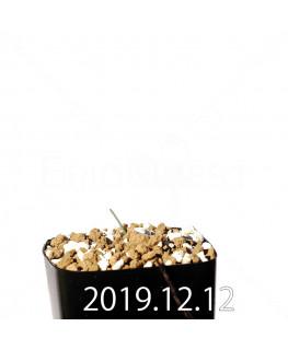 エリオスペルマム アフィルム EQ125 実生 20176