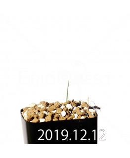 エリオスペルマム アフィルム EQ125 実生 20178