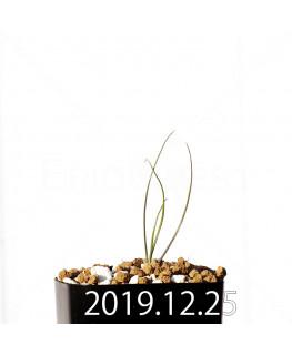 アンドロキンビウム ドレゲイ EQ885 実生 20185