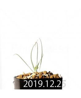 アンドロキンビウム ドレゲイ EQ885 実生 20193