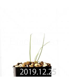 アンドロキンビウム ドレゲイ EQ885 実生 20199