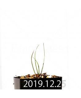 アンドロキンビウム ドレゲイ EQ885 実生 20200