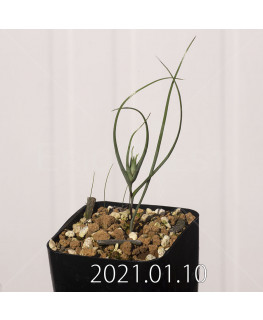 Androcymbium dregei アンドロキンビウム ドレゲイ EQ885  20201
