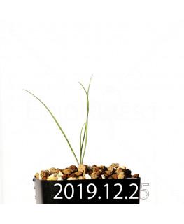 アンドロキンビウム ドレゲイ EQ885 実生 20204