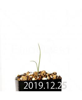 アンドロキンビウム ドレゲイ EQ885 実生 20205