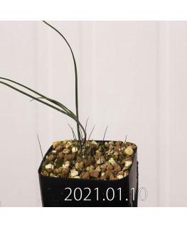 Androcymbium dregei アンドロキンビウム ドレゲイ EQ885  20206