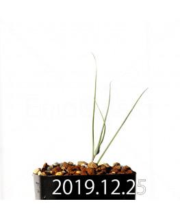 アンドロキンビウム ドレゲイ EQ885 実生 20207