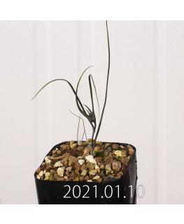 Androcymbium dregei アンドロキンビウム ドレゲイ EQ885  20207
