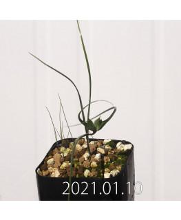 Androcymbium dregei アンドロキンビウム ドレゲイ EQ885  20210