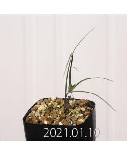 Androcymbium dregei アンドロキンビウム ドレゲイ EQ885  20211
