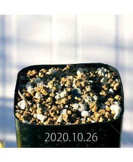 Drimia sp. ドリミア 未識別種 プラティフィラ  20237