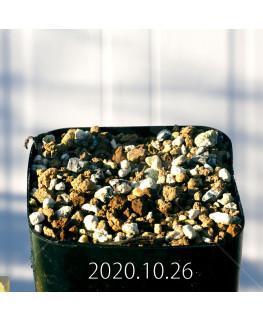 Drimia sp. ドリミア 未識別種 プラティフィラ  20238