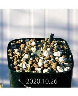Drimia sp. ドリミア 未識別種 プラティフィラ  20240