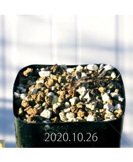 Drimia sp. ドリミア 未識別種 プラティフィラ  20241