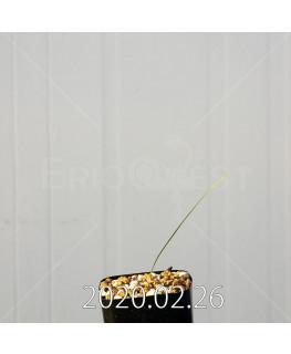 グラジオラス ウイシアエ EQ465 子株 20261