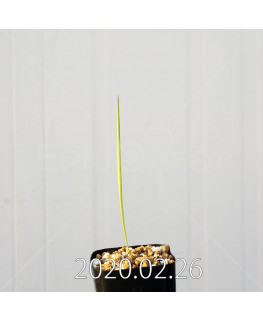 グラジオラス ウイシアエ EQ465 子株 20263
