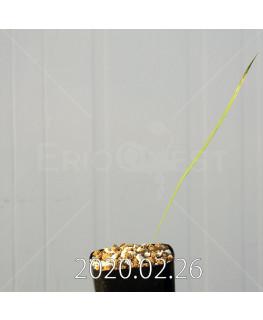 グラジオラス ウイシアエ EQ465 子株 20265