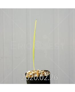 グラジオラス ウイシアエ EQ465 子株 20266
