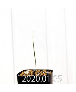 グラジオラス ウイシアエ EQ465 子株 20267