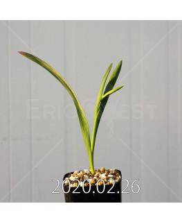 グラジオラス ウイシアエ EQ465 子株 20275