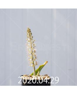 ラケナリア ラティメラエ EQ886 実生 20332