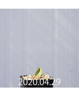 ラケナリア ラティメラエ EQ886 実生 20334