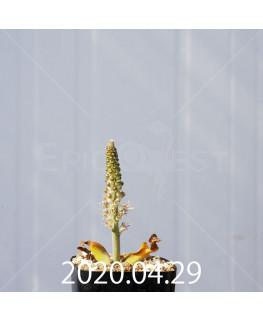 ラケナリア ラティメラエ EQ886 実生 20336