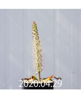 ラケナリア ラティメラエ EQ886 実生 20338