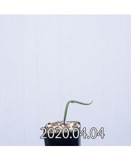 ラケナリア ムタビリス EQ467 子株 20364