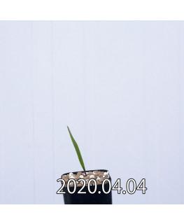 ラケナリア ムタビリス EQ467 子株 20366
