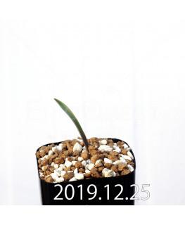 ラケナリア ムタビリス EQ467 子株 20367
