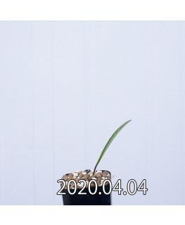 ラケナリア ムタビリス EQ467 子株 20368