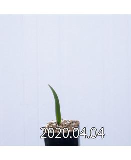 ラケナリア ムタビリス EQ467 子株 20370