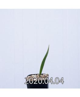ラケナリア ムタビリス EQ467 子株 20371