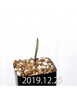ラケナリア ムタビリス EQ467 子株 20373