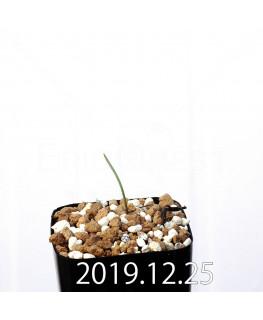 ラケナリア ムタビリス EQ467 子株 20378