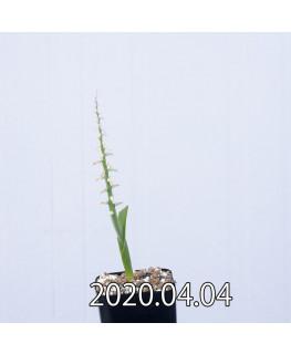 ラケナリア ムタビリス EQ467 子株 20382
