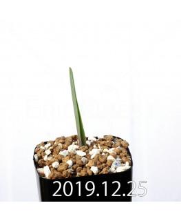 ラケナリア ムタビリス EQ467 子株 20383