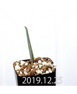 ラケナリア ムタビリス EQ467 子株 20384