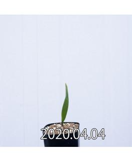 ラケナリア ムタビリス EQ467 子株 20388