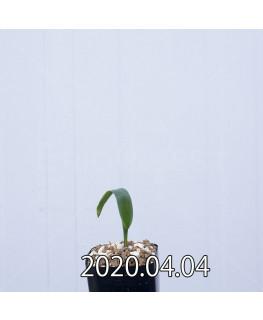 ラケナリア ムタビリス EQ467 子株 20390