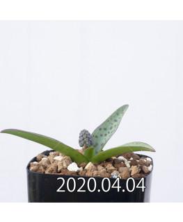 レデボウリア sp. aff. saundersonii 子株 20468