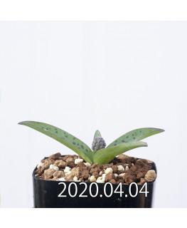 レデボウリア sp. aff. saundersonii 子株 20470