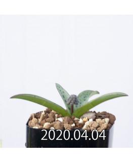 レデボウリア sp. aff. saundersonii 子株 20472