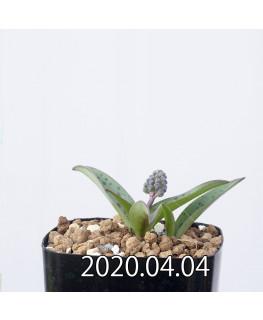 レデボウリア sp. aff. saundersonii 子株 20476