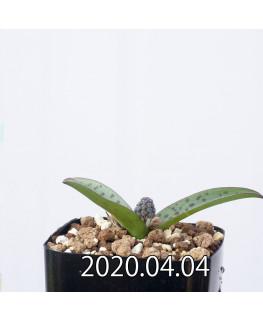 レデボウリア sp. aff. saundersonii 子株 20477