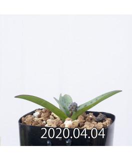 レデボウリア sp. aff. saundersonii 子株 20478