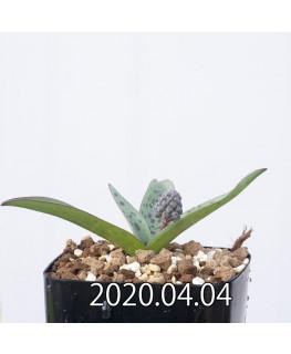 レデボウリア sp. aff. saundersonii 子株 20480