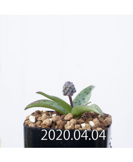 レデボウリア sp. aff. saundersonii 子株 20483